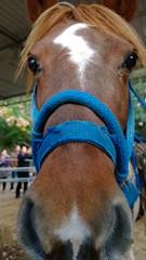 Hello! (Ms. Jen) Tags: hello horse cute closeup eyes pony ponyride muzzle irvineregionalpark smallhorse cutepony photobyjeniferhanen nokialumia1020