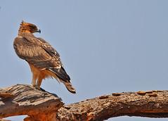Immature African Hawk Eagle (Rainbirder) Tags: kenya samburu africanhawkeagle aquilaspilogaster hieraaetusspilogaster rainbirder