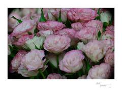 Roses 1 (heritagefutures) Tags: camera 3 paris france french nikon antique simulator arrondissement d800 nº 15ème parisien aplanat berthiot