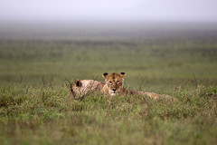 Ngorongoro Crater, Tanzania (Eimhear Collins) Tags: africa tanzania buffalo lions zebra antelope elephants ngorongorocrater wildebeest ngorongoroconservationarea