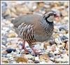 Red-legged Partridge (flickr quickr) Tags: partridges redleggedpartridge alectorisrufa gamebirds {vision}:{outdoor}=0688
