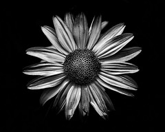 Backyard Flowers In Black And White 18 (thelearningcurvedotca) Tags: light wild summer blackandwhite white plant toronto canada abstract black flower detail macro art nature floral monochrome beautiful beauty closeup contrast garden dark season one blackwhite leaf spring flora backyard pattern close blossom outdoor vibrant unique background decoration nobody fresh petal growth single round bunch bloom delicate grown iamcanadian bwemotions torontoist blackwhitephotos bej true2bw cans2s blackandwhiteonly wwwareamagazinecom bwartaward yourphototips briancarson blogtophoto thelearningcurvephotography wwwthelearningcurveca