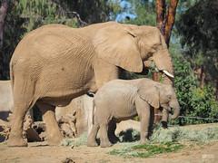 Big and small elephant (blupic) Tags: park wild elephant animal four lumix san diego olympus panasonic safari micro 43 omd thirds 100300mm m43 em10 fourthirds mirrorless