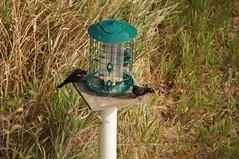 Migratory Bird Sanctuary (Tjflex2) Tags: canada color colour nature birds outdoors bc fowl sanctuary ladner georgecreifelmigratorybirdsanctuary a hrefhttpwwwreifelbirdsanctuarycomindexhtml relnofollowwwwreifelbirdsanctuarycomindexhtmla