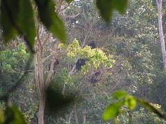 Uganda-18-012-Chimpanzees in the forest-Credit  Phillip Kihumuro, (c) CSWCT (1) (darwin_initiative) Tags: poverty forestry wildlife conservation darwin environment chimpanzee uganda development biodiversity defra dfid