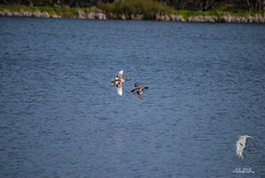On the fly... ( S. D. 2010 Photography) Tags: lake oregon flying over ducks mallard enhanced mallards millpond vernonia adobelightroom5 millpondvernonia ducksonthefly beautifulduckscene