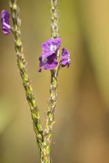 Violet flowers (Julien Falissard) Tags: life costa flower nature fleur plante violet rica 2014 tige