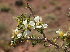 IMG_8990 (Vox Sciurorum) Tags: flower utah shrub capitolreefnationalpark canon2470 cliffrose purshiastansburiana