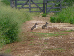 Liebres (nisansae) Tags: fauna hare paraguay chaco hase liebres