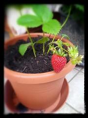 Bambolina (stefania.tarantola) Tags: summer fruits foglie casa strawberry estate rosso frutta amore vaso fraise fragola balcone pianta esterno curare convivenza crescere coltivare argicoltura