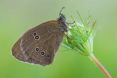 Aphantopus hyperantus (Prajzner) Tags: morning macro nature butterfly nikon natural naturallight lepidoptera manfrotto ringlet aphantopushyperantus macrodreams nikond7100 manfrottomt190xpro3