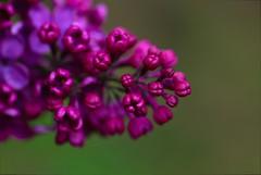 2008-05-18_16-05-56DSC_0690 (Gerald -) Tags: flower purple 2008