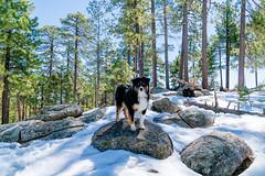 8/52 - Mountain High (jayvan) Tags: dash aussie australianshepherd dog snow trees rocks posed sunshine 52wfd 52weeksfordogs mtlemmon tuscon arizona sony