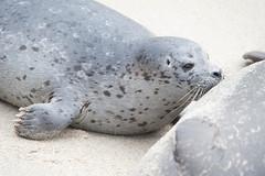 Young Harbor Seal Nursing. (LisaDiazPhotos) Tags: la jolla cove lisadiazphotos san diego young harbor seal nursing