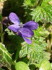 2016 PH Sweet Violet 06042016 (Coventry City Council) Tags: coombecountrypark coombeabbey coventry