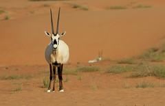 Oryx d'Arabie - Nazwa/Dubai - Charjah/UAE_20170118_073-1 (Patrick Monney) Tags: inexplore