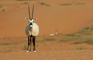 Oryx d'Arabie - Nazwa/Dubai - Charjah/UAE_20170118_073-1
