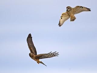 Short-eared owl Battles Northern Harrier Hawk