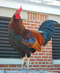 Key West (Florida) Trip 2016 0123Ri 5x6 (edgarandron - Busy!) Tags: florida keys floridakeys keywest bird birds chicken chickens