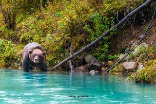 Bear on Lake Clark