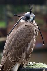 Cruel! (sasastro) Tags: birdsofprey tethered cruel
