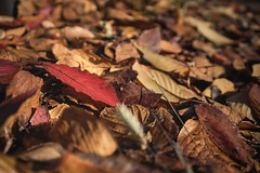 The red leaf (Syahrel Azha Hashim) Tags: autumnseason autumn nature sony 2016 shallow holiday nopeople simple kyoto details a7ii fallenleafs ilce7m2 dof different handheld colorimage vacation prime light naturallight 35mm colorful getaway beautiful travel syahrel colourfulleafs sonya7 colors leafs fall colorfulleafs japan detail