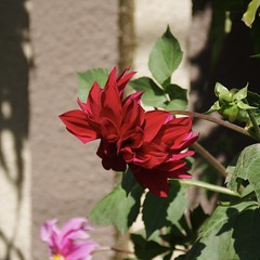 Flames (hasham2) Tags: dahlia flower green sun red fujifilm s5pro nikkor zoom lens
