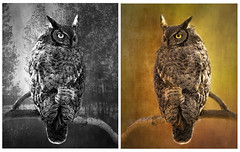 2 Versions 1 Owl (Johnrw1491) Tags: owls greathorned owl trees backgrounds color black white monochrome choice art board wildlife birds textures nature prey
