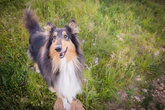 11/52 Leia & last winter day (shila009) Tags: leia dog perro roughcollie tricolor smile happy green 1116mm lastday winter invierno verde day natural animals lens 52weeksfordogs