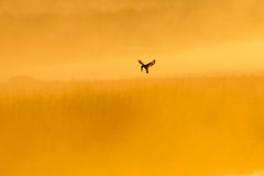 Morning Song (ZeePack) Tags: sky sunrise morning birds bird jungle river sun flight india fishing dawn wildlife hovering kingfisher piedkingfisher canon uttarakhand dhikala corbetttigerreserve 5dmarkiv