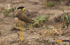Yellow wattled Lapwing - CBE (sibi ar ( I'm BACK :)) Tags:
