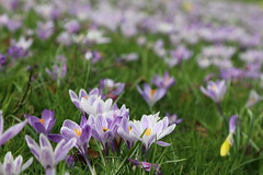 Crocus flowers (KelJB) Tags: grass field garden nature blossom seasons closeup macro violet purple spring flora petals flower crocuses crocus
