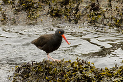 20170302 Oak Bay Oyster Catcher (Robert Harwood) Tags: bird oakbay victoria britishcolumbia canada oyster catcher oystercatcher
