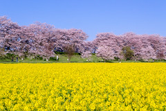 _DSC4449 (sayo-tsu) Tags: sakura saitama cherryblossom gongendopark sattecity 桜 菜の花 お花見 権現堂 埼玉県