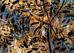 Dead wood (docoverachiever) Tags: crosssection cut digitalart digitalprocess grain holes nature wood downed dead