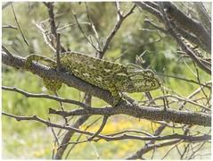 CAMALEON (BLAMANTI) Tags: camaleon reptiles naturaleza mar color crazytuesdaytheme 7dwf textures
