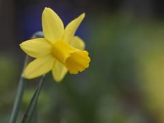 Narcis (nikjanssen) Tags: narcis flowers dof bokeh vintagelenses helios442 spring lente garden explore
