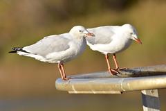 Silver Gull (Luke6876) Tags: silvergull gull bird animal wildlife australianwildlife