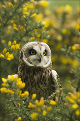 Short-eared owl (Fawkes) (Craig Lindsay 2112) Tags: fawkes shorteared owl british wildlife centre surrey gorse