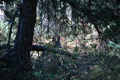 55 - Mule deer (Scott Shetrone) Tags: animals forest scenery events places mammals 7th grandtetonsnationalpark anniversaries wymoing deermule