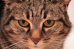 Mim (ader15) Tags: cats animals cat canon gatto ritratto gatti 1100d canonefs55250mmf456is