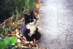 Cat (Ekaterina Sotova) Tags: film nature leaves cat russia oldschool retro pentaxmesuper colorfilm