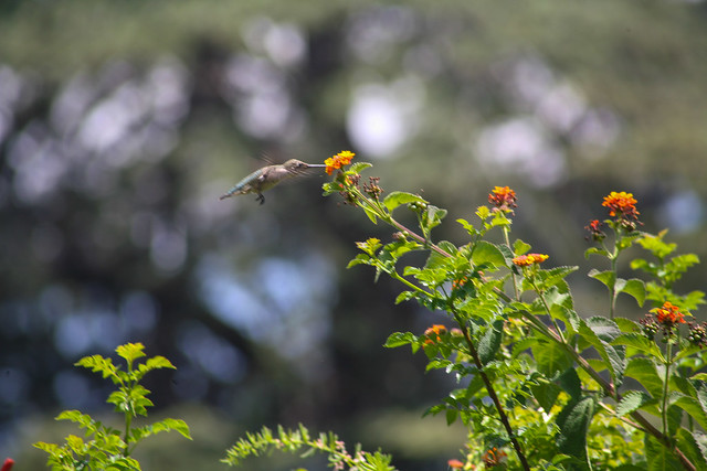 Hummingbird_at_Geek_Hill_2013-434