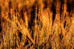 dew in the morning sun (Wackelaugen) Tags: morning sun grass canon eos gold photo droplets bokeh sparkle dew sparkling