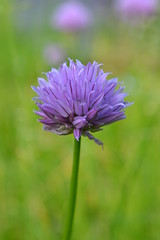 Chives and bokeh (hcorper) Tags: flower nikon bokeh blomma chives grslk d3100 365in2013