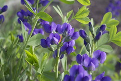 Lupine in the Garden (marylea) Tags: flowers blue garden spring lupine 2013 jun1