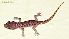 My New Roommate! (Raj the Tora) Tags: lizard gecko babygecko stickylegs wallgecko geckobaby roomgecko