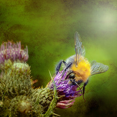 Thistle and Bee (Explored) (pollylew) Tags: flower texture garden insect thistle bee