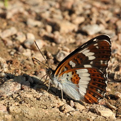 White Admiral (Limenitis camilla) (Pawpawsaurus) Tags: uk butterfly insect hertfordshire herts whiteadmiral limenitiscamilla ballswood canonef100mmf28lmacroisusm canoneos550d