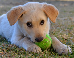 Nom Nom (Adventures with my dogs) Tags: cute ball puppy southafrica nikon cuddly uncool standerton uncool2 uncool8 uncool3 uncool4 uncool5 uncool6 uncool7 d3100 uncool3formellivoran